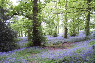 Bluebell trail Lickey 14-5-06 [2]