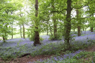 Bluebell trail Lickey 14-5-06 [3]