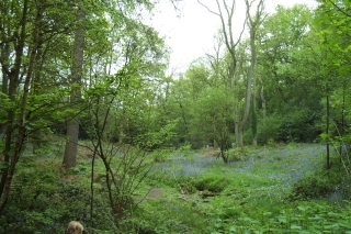 bluebell trail Lickey 14-5-06 [5]