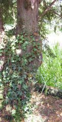 English ivy on a yew tree