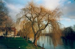 willow tree by the Stour
