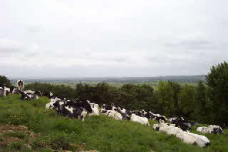 Cows on the Tor June 2002